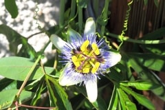 15-08-blaue Passionsblume