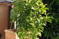 15-08-Magnolia Genie 1