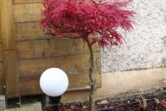 15-10-japanischer Blutfächerahorn