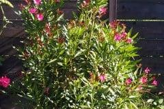 16-08-Oleander 01