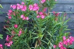 16-09-Oleander 01
