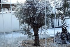 17-12-Olivenbaum 01