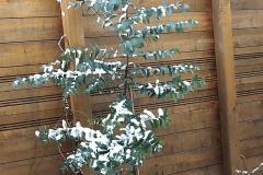 17-12-Mostgummi-Eukalyptus 01
