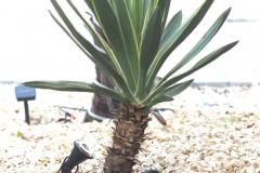 17-06-Yucca gloriosa 01