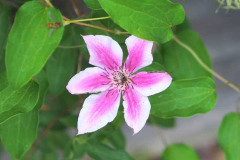 17-06-Clematis Carnaby 01