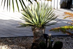 18-04-Yucca rostrata 01