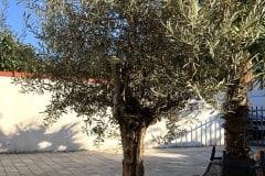 18-10-Olivenbaum 01
