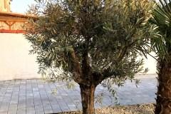 18-03-Olivenbaum 01