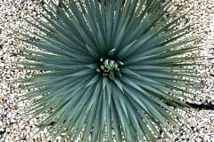 18-08-Yucca rostrata 03