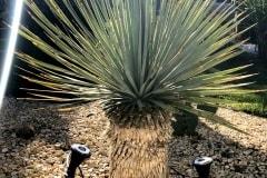 18-05-Yucca rostrata 02