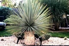 18-08-Yucca rostrata 02