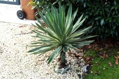 18-09-Yucca gloriosa 01