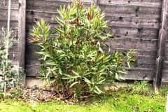18-11-Oleander 01
