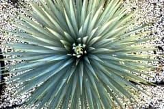 19-02-Yucca rostrata 01