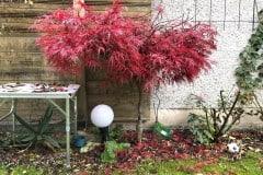 19-11-japanischer Blutfächerahorn 02