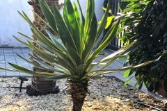 19-09-Yucca gloriosa 01