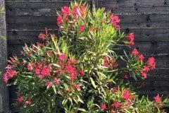 19-08-Oleander 01