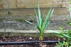 19-08-Yucca recurvifolia 01