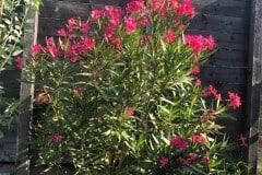 19-09-Oleander 01