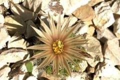 Warzenkaktus Escobaria missouriensis