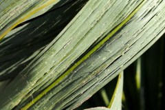 rissige Blätter (starker Frostschaden)