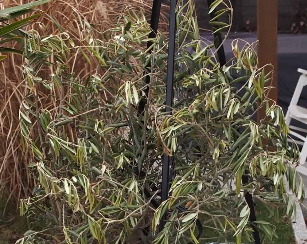 Fächerahorn Vertrocknete Blätter : olivenbaum mangelerscheinungen krankheiten ~ Lizthompson.info Haus und Dekorationen