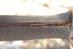 Risse in Zweigen (Frostschaden)