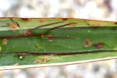 fleckige Blätter (Pilz)