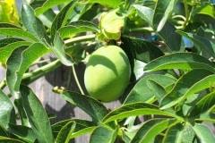 Frucht 2016 04