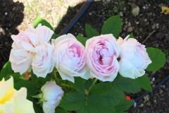 Rose 2016