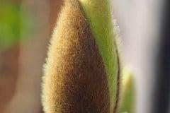 Blütenknospe soulangeana 2015 02