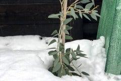 2018/19 Schnee-Eukalyptus 01