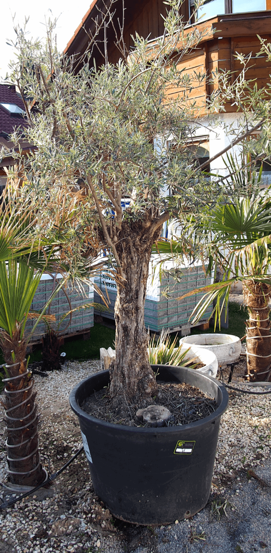 Auspflanzung von exotischen Pflanzen: Checkliste 1