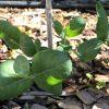 Omeo-Gummi-Eukalyptus: Steckbrief 5