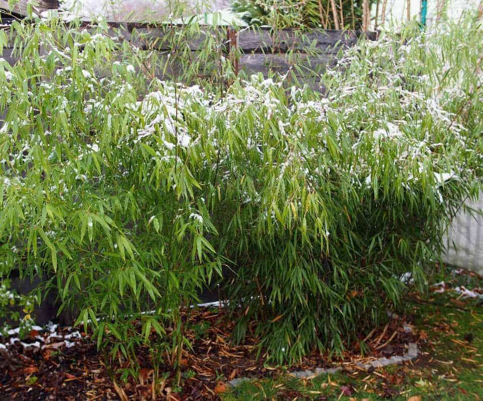 Bambus: Steckbrief 1