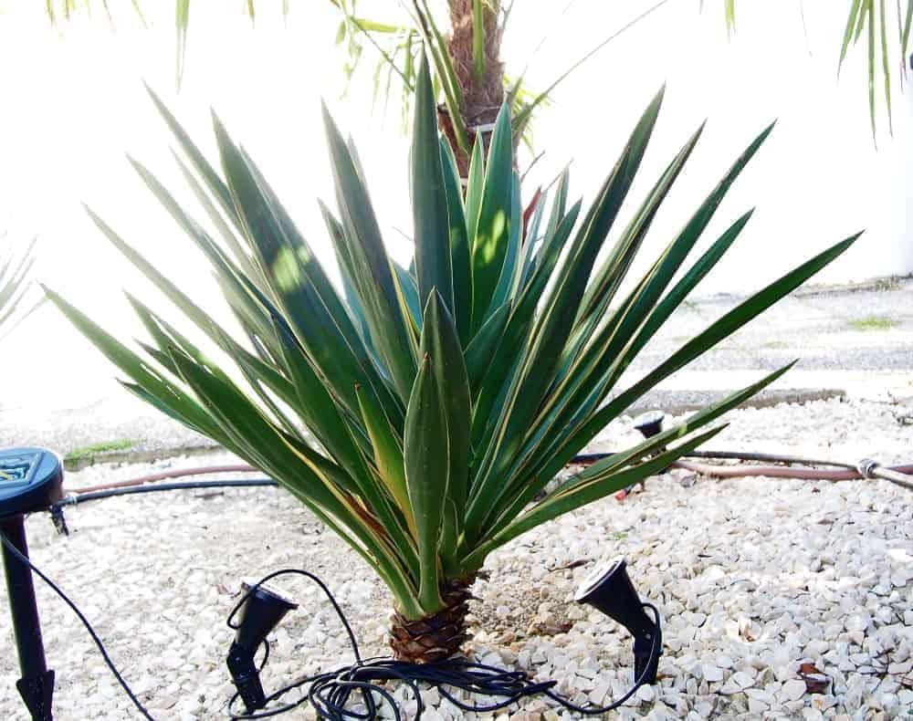 Palmlilie: Steckbrief 1