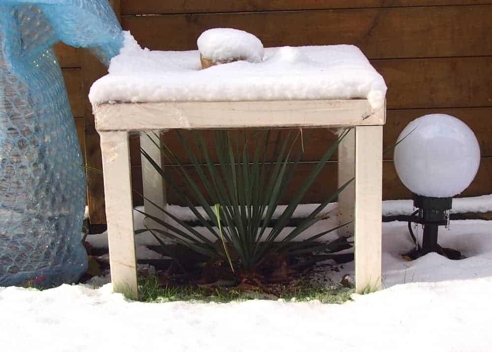 Palmlilie: Winterschutz 1
