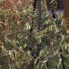 Olivenbaum: Mangelerscheinungen + Krankheiten 9
