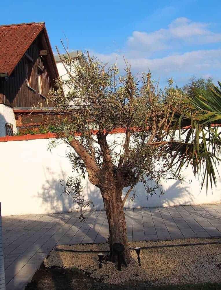 Olivenbaum: Pflege 1