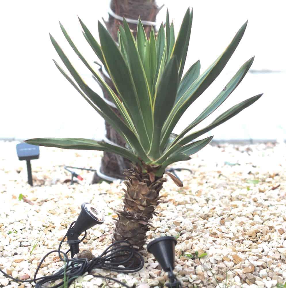 Kerzen-Palmlilie: Kaufgründe 1