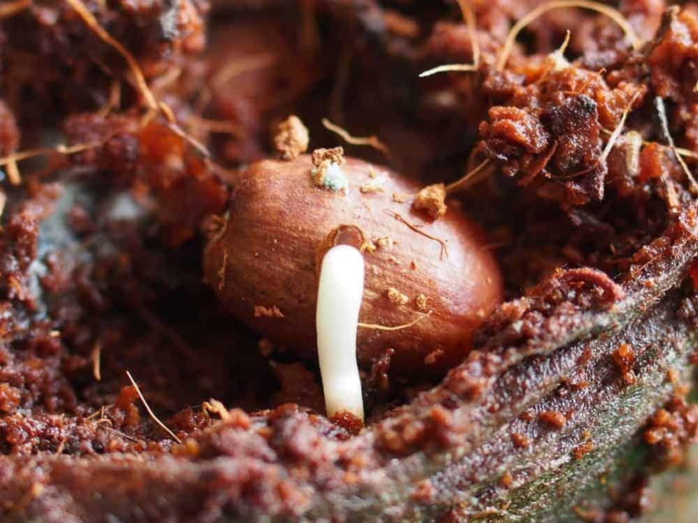 Palme: Keimung von Samen 1