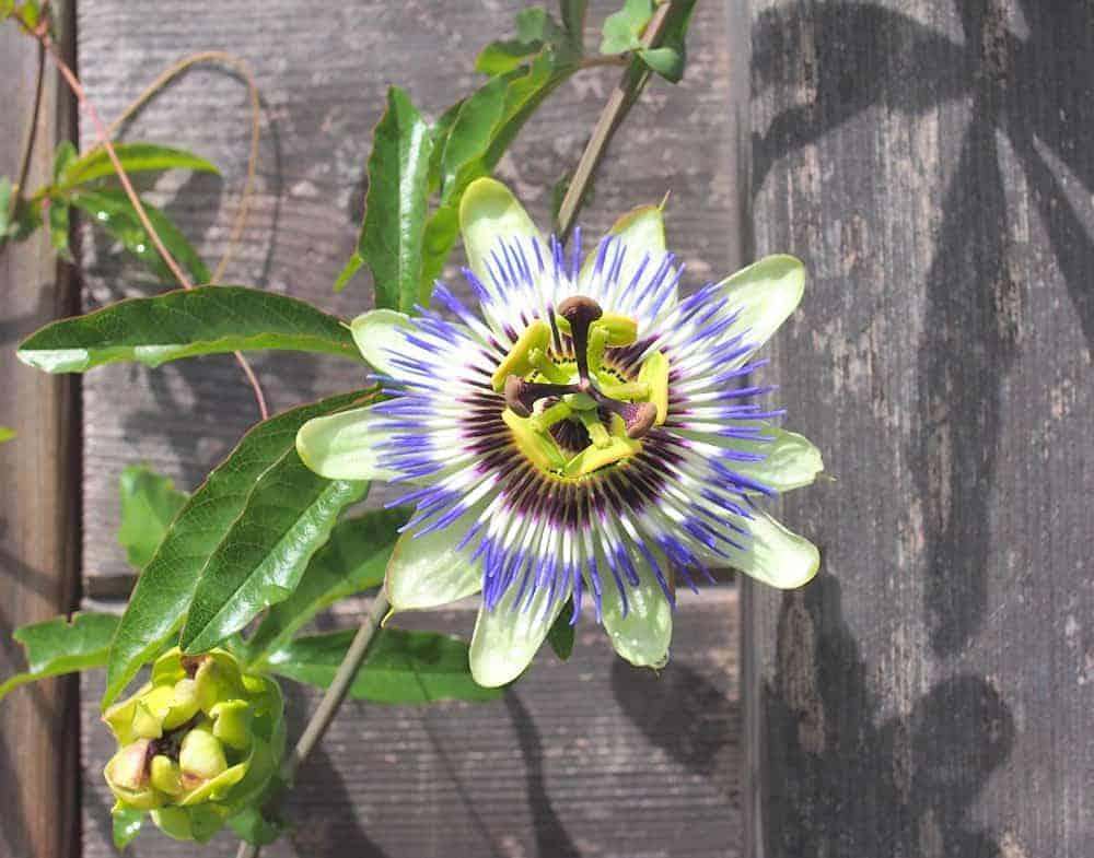 Blaue Passionsblume: Steckbrief 1
