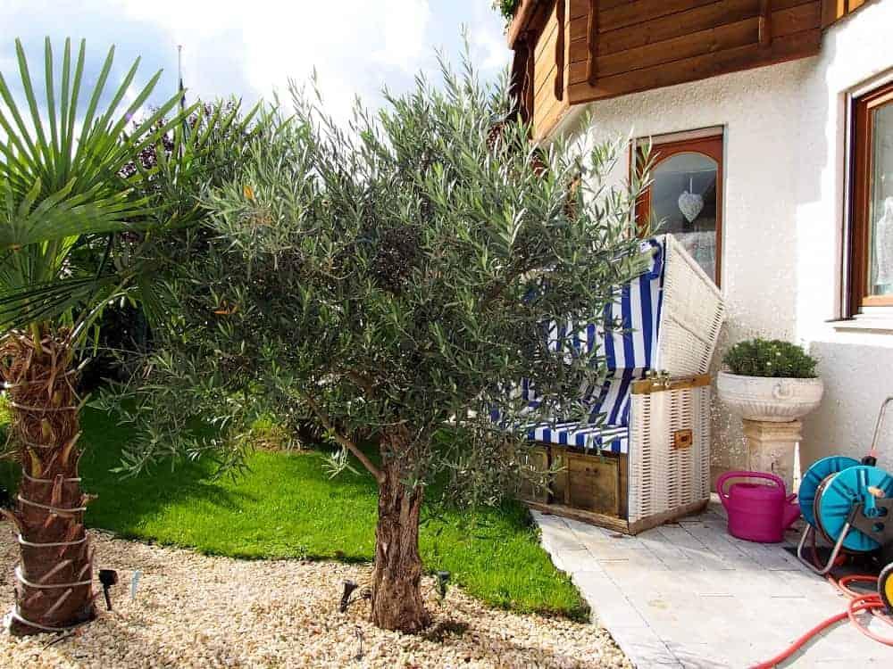olivenbaum kaufgr nde der exoteng rtner. Black Bedroom Furniture Sets. Home Design Ideas