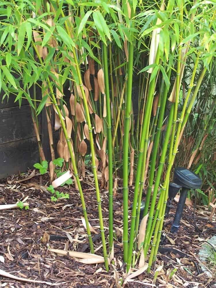 bambus pflege bambus pflege alles worauf sie achten m ssen bambus pflege im fr hjahr bambus. Black Bedroom Furniture Sets. Home Design Ideas