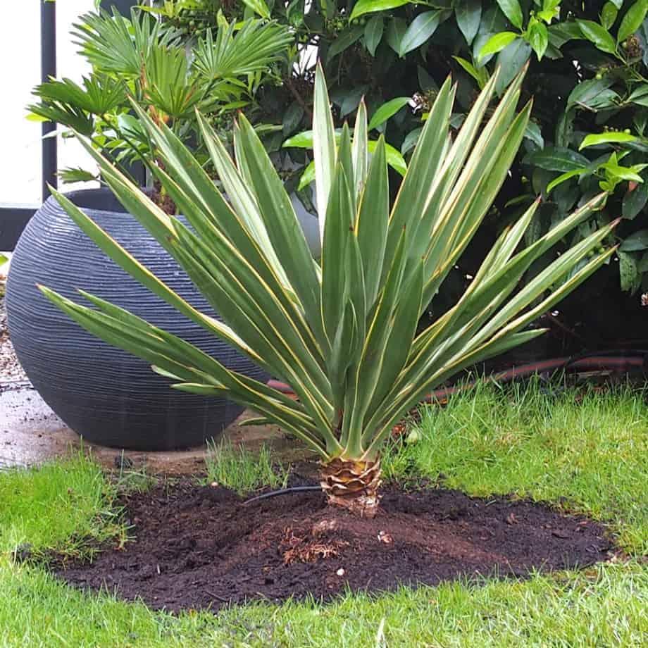 Palmlilie: Pflege 1